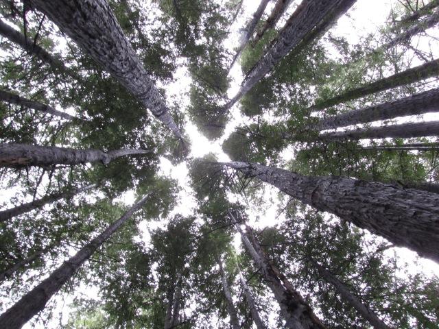 Coast Redwoods