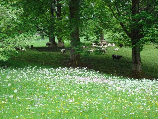 Lauterbrunnen - campos floridos