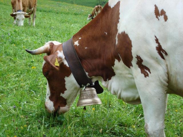 Lauterbrunnen - vacas com sinetas