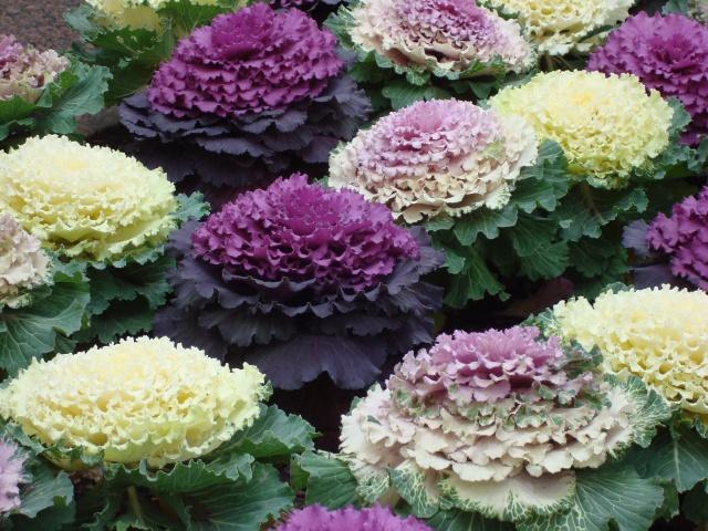 Essas flores que mais parecem legumes colorem os canteiros em pleno inverno